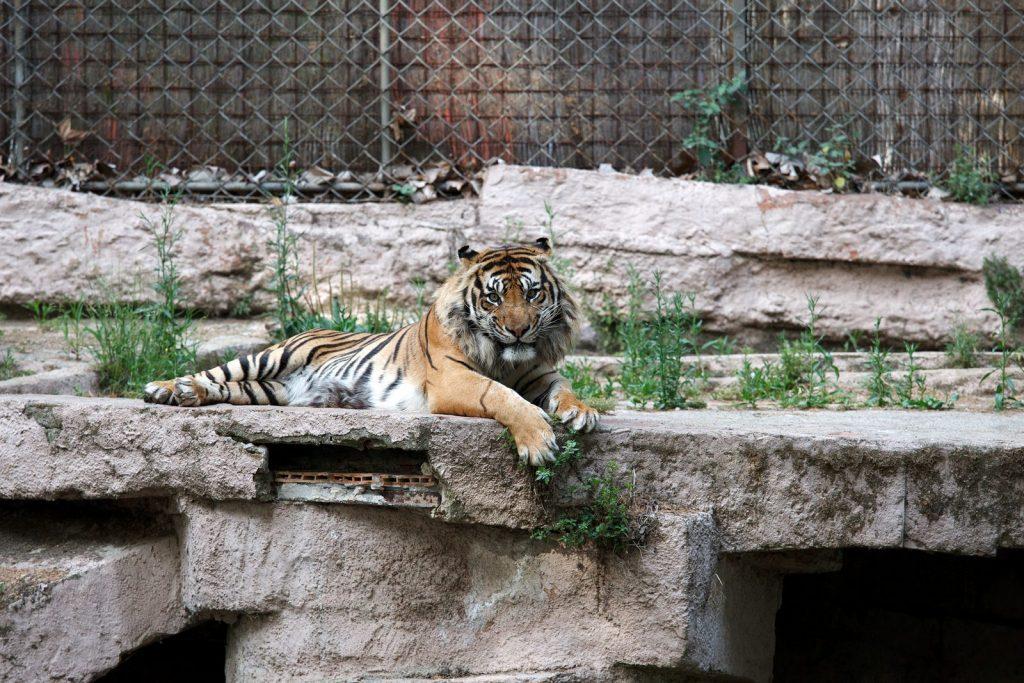 Тигр выбирает мясную вырезку на ужин