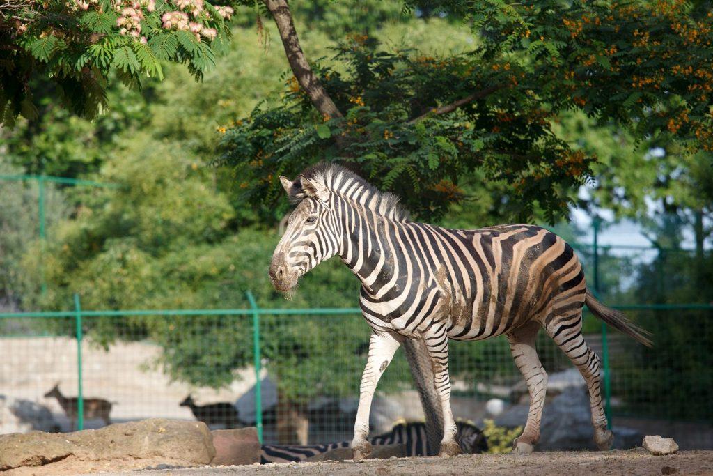 Полосатая зебра