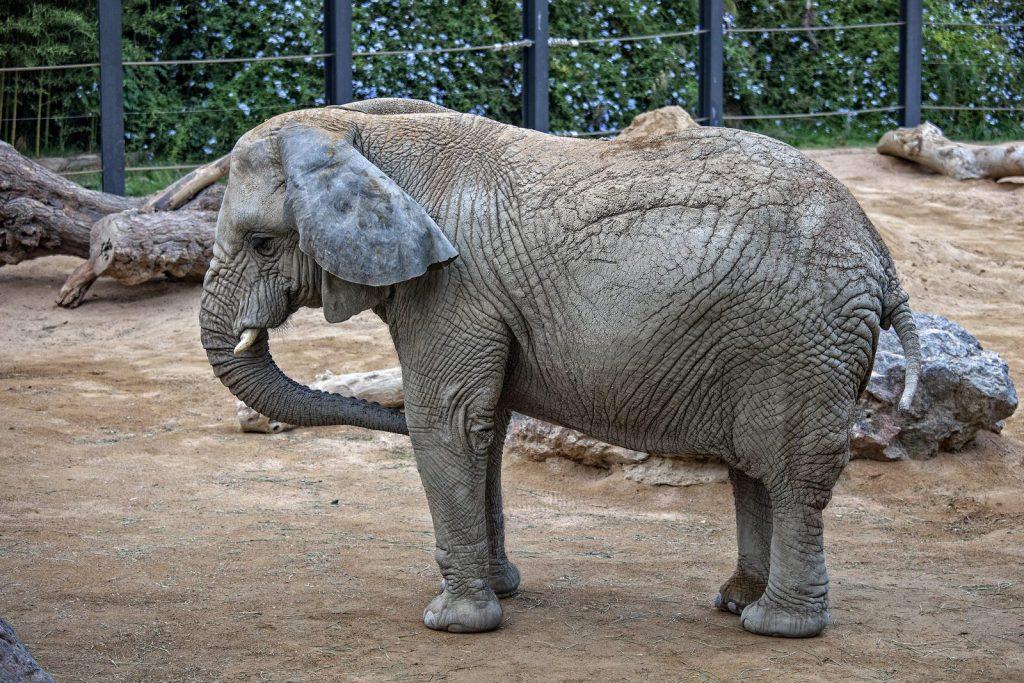 Головой качает слон, он слонихе шлет поклон